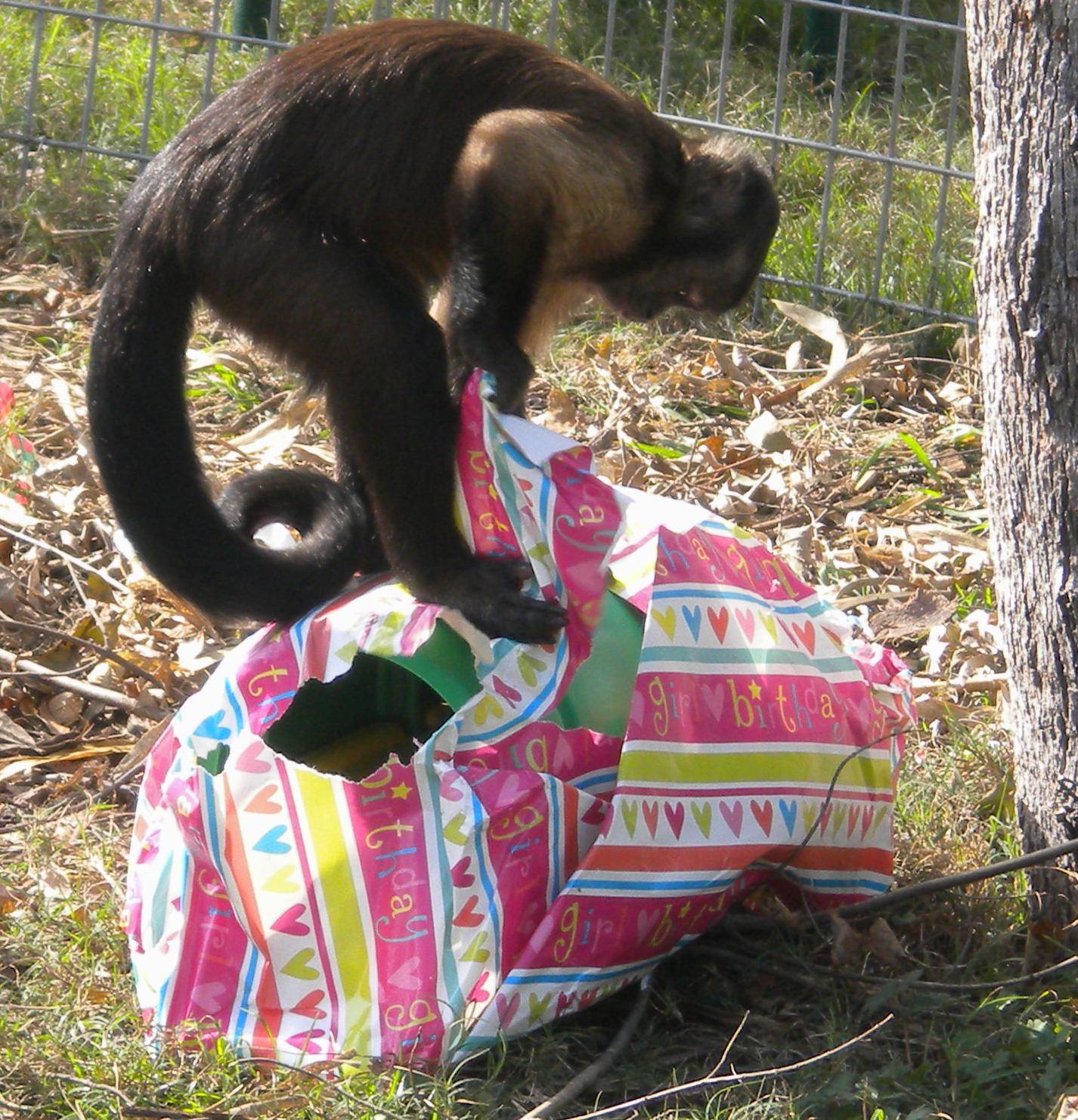 Jungle Friends Primate Sanctuary: JN-2011-12-27 Monkey Christmas